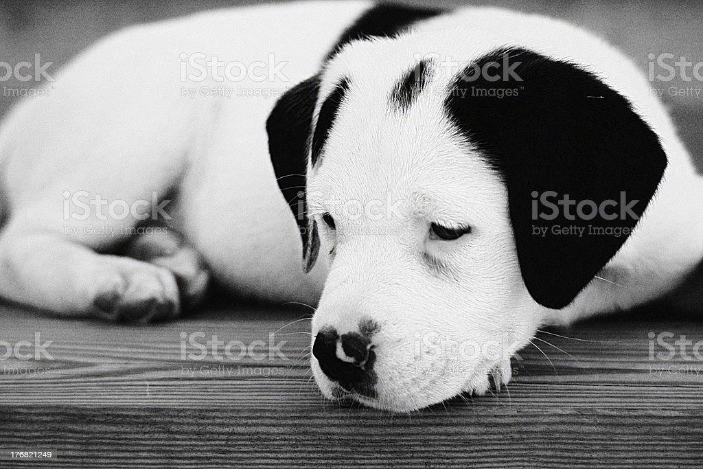 Black and White of Sad Puppy stock photo
