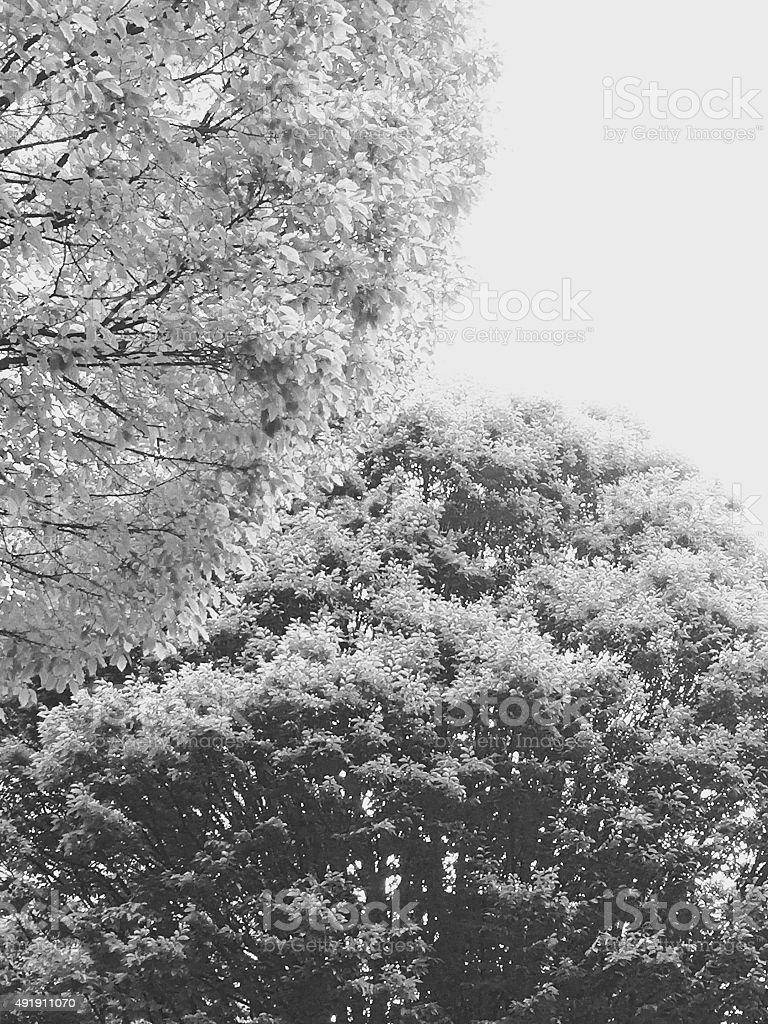 Black and white of two trees overlapping royalty-free stock photo