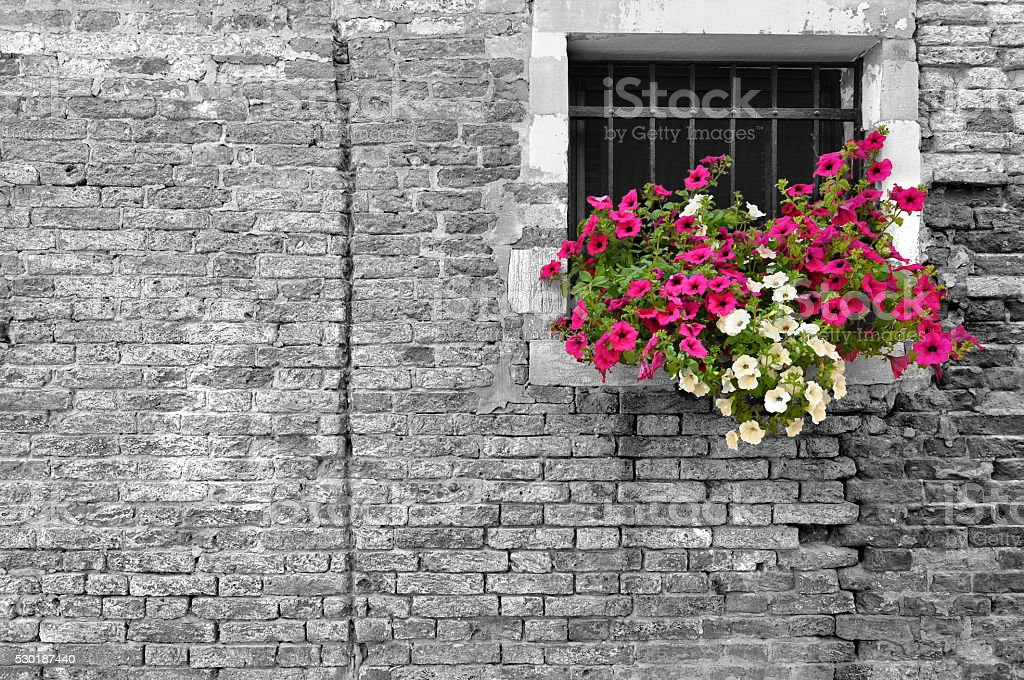 Black and white of wall with selective focus on petunias stock photo