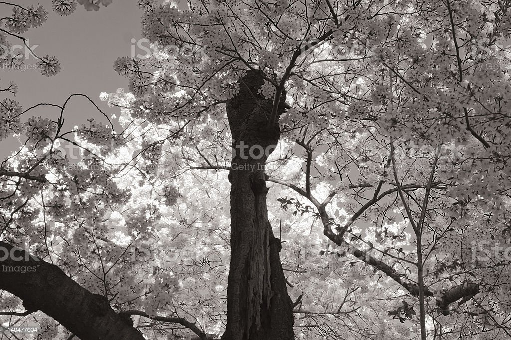 Black and White Old Twisted Cherry Tree Blossoms royalty-free stock photo