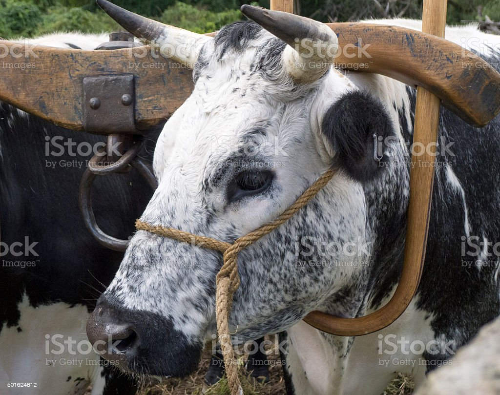 Black and White Ox with Antique Wooden Yoke stock photo