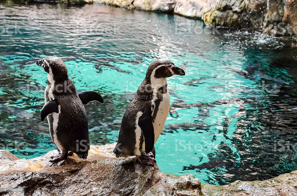 Black and White Penguin stock photo