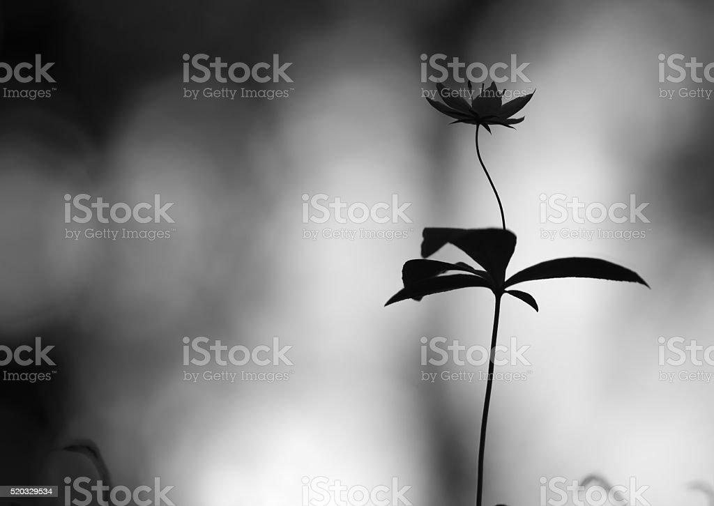 Black and white photo of an arctic starflower, Trientalis europaea stock photo