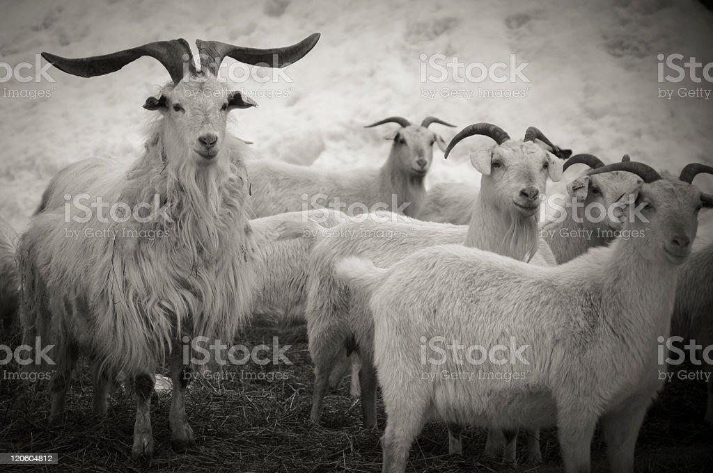 Black and white photo of goats stock photo