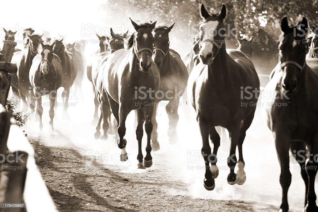 Black and white photo of horses in motion stock photo