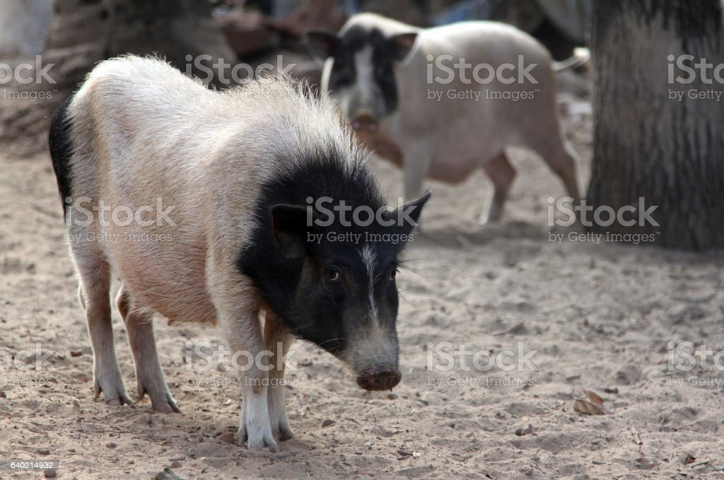 black and white pig on the farmyard stock photo