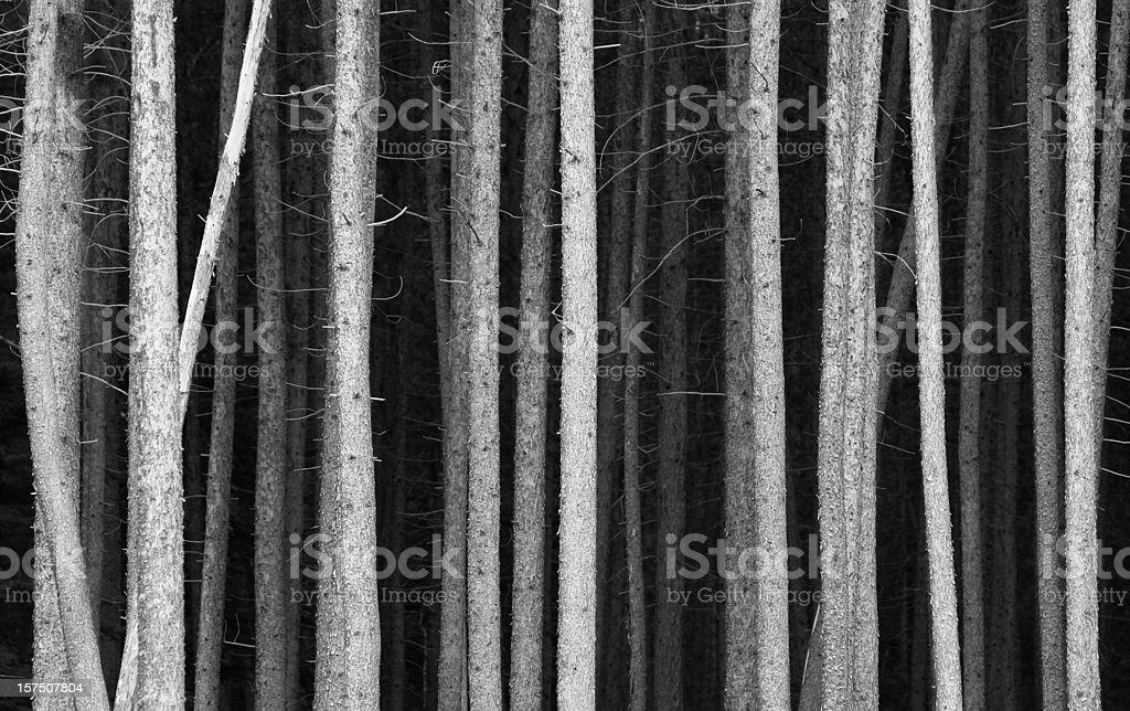 Black and White Pine Tree Trunks Background stock photo
