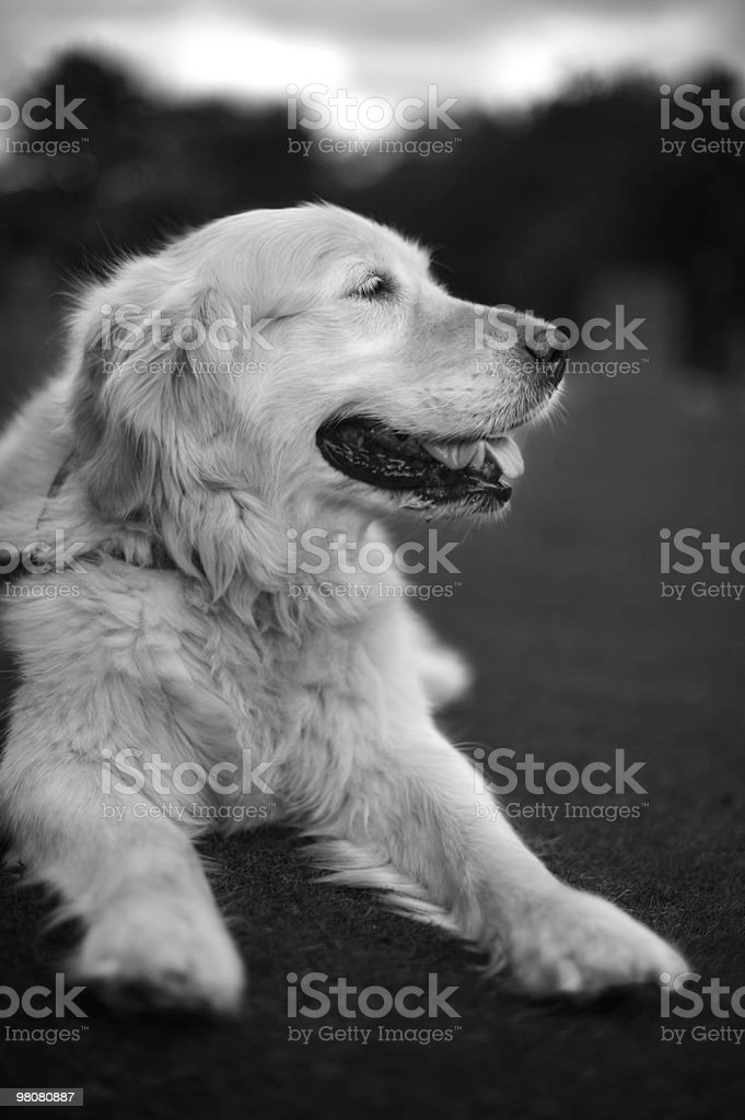 Black and White Porait Of Elegant Old Golden Retriever stock photo