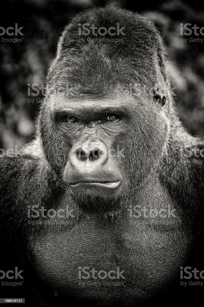 Black and white portrait of angry silverback gorilla stock photo