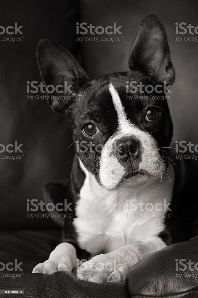 Black and White Portrait of Boston Terrier Dog Cocking Head royalty-free stock photo