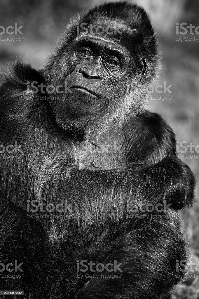 Black and white portrait of old female lowland gorilla stock photo
