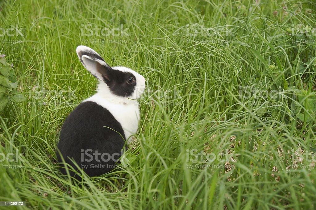 black and white rabbit in green grass stock photo