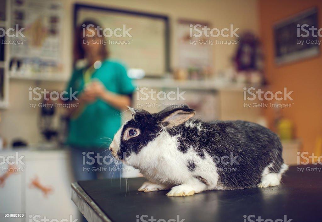 Black and white rabbit on examination table at vet's. stock photo