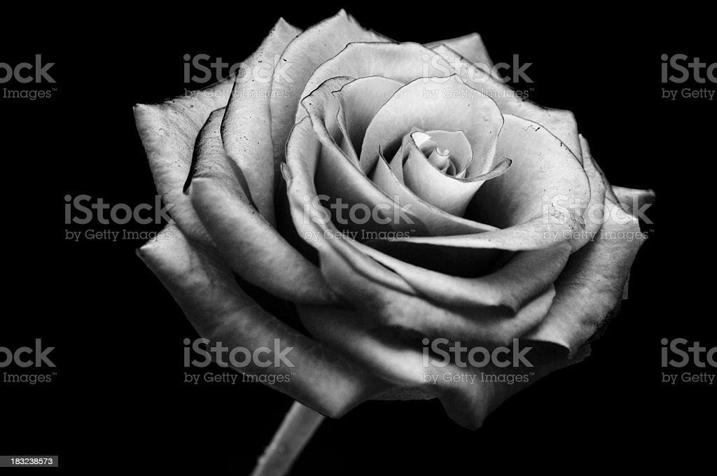 Black and white rose flower bud head stock photo