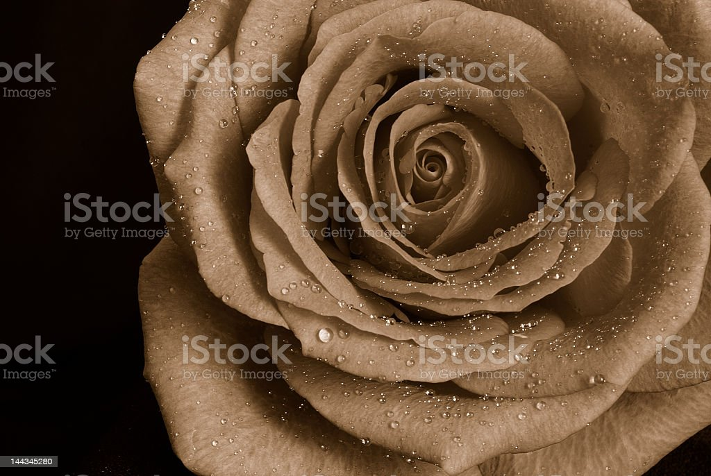 Black and White Rose royalty-free stock photo
