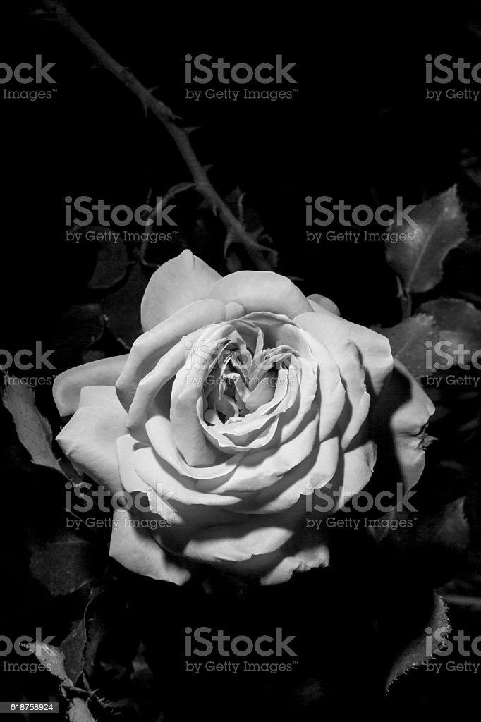Black and White Rose. stock photo
