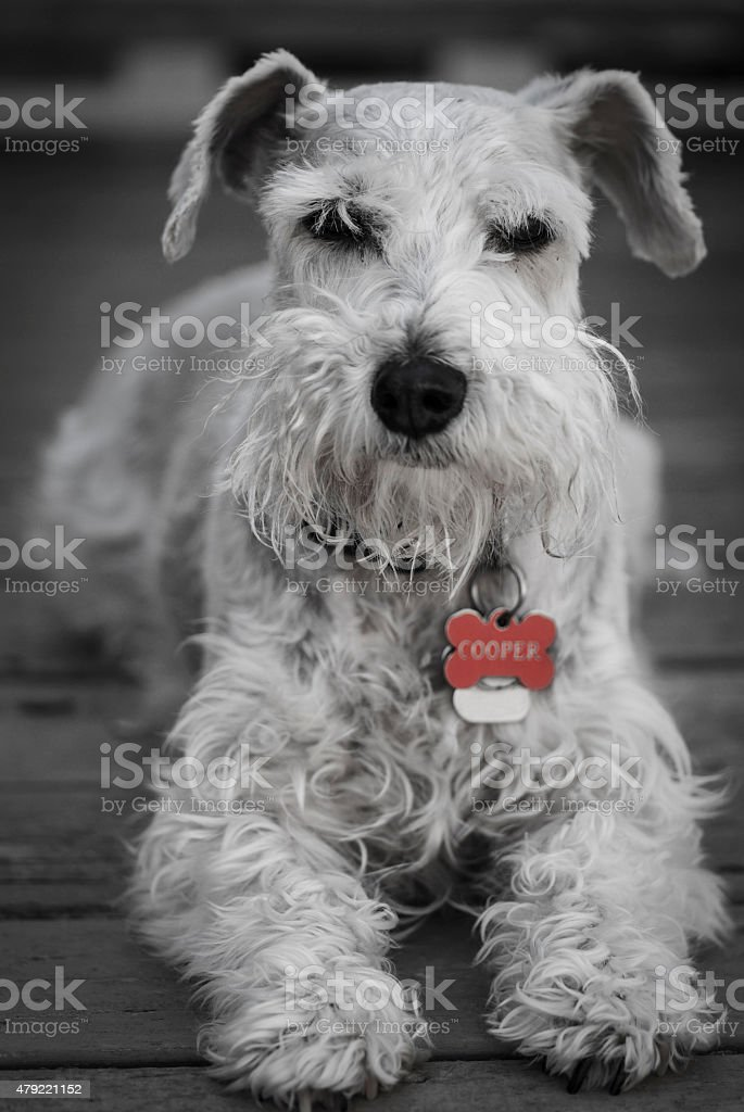 Black and White Schnauzer stock photo