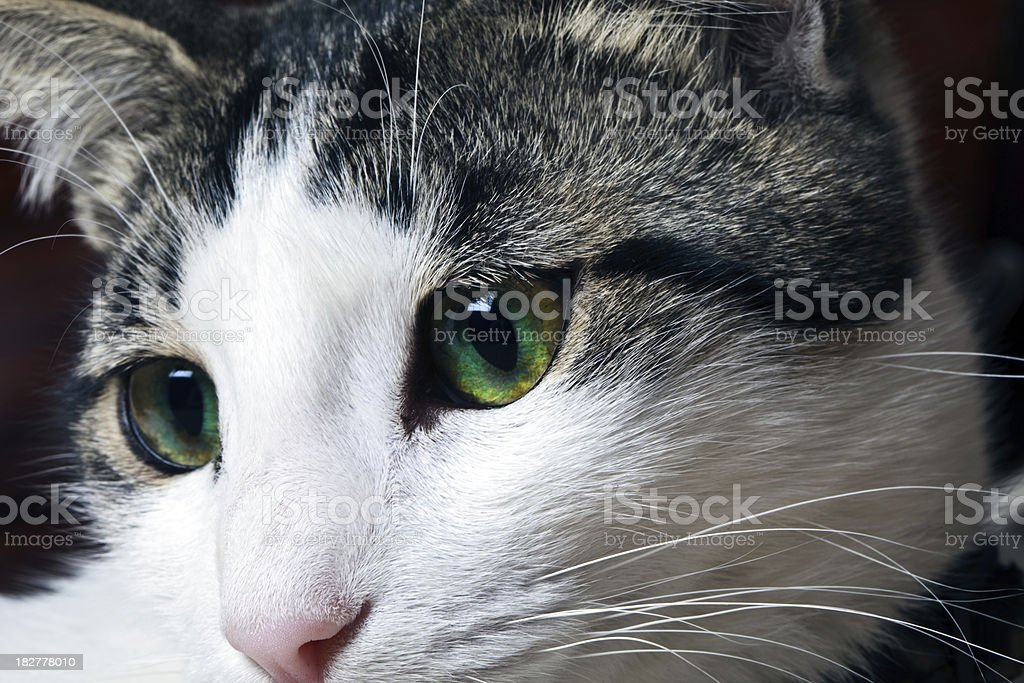 black and white short haired cat royalty-free stock photo