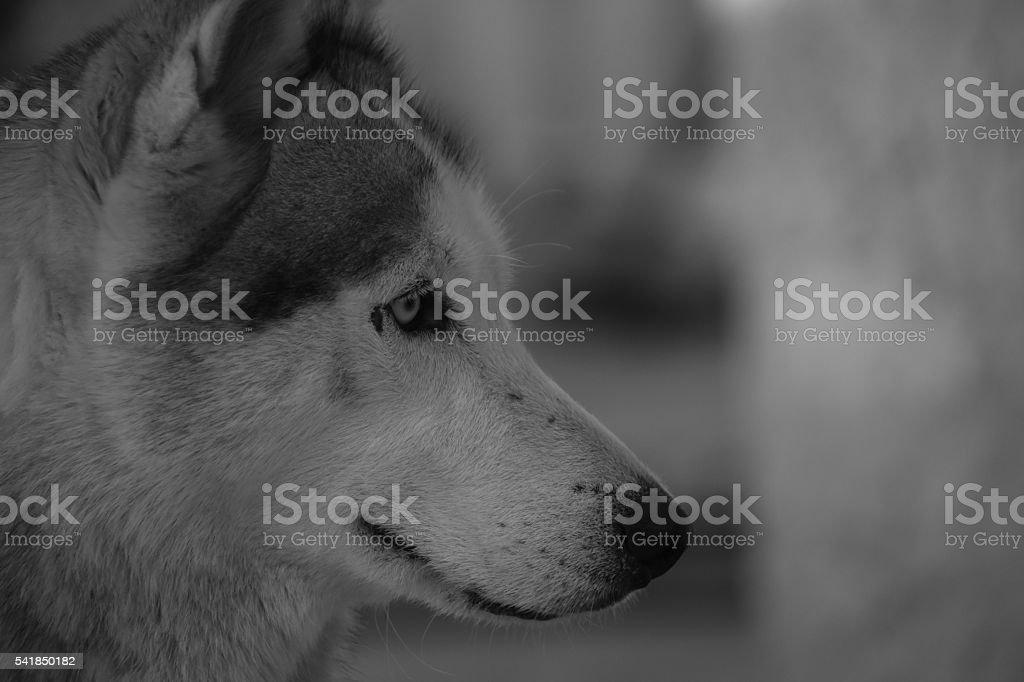 Black and white Siberian Husky stock photo