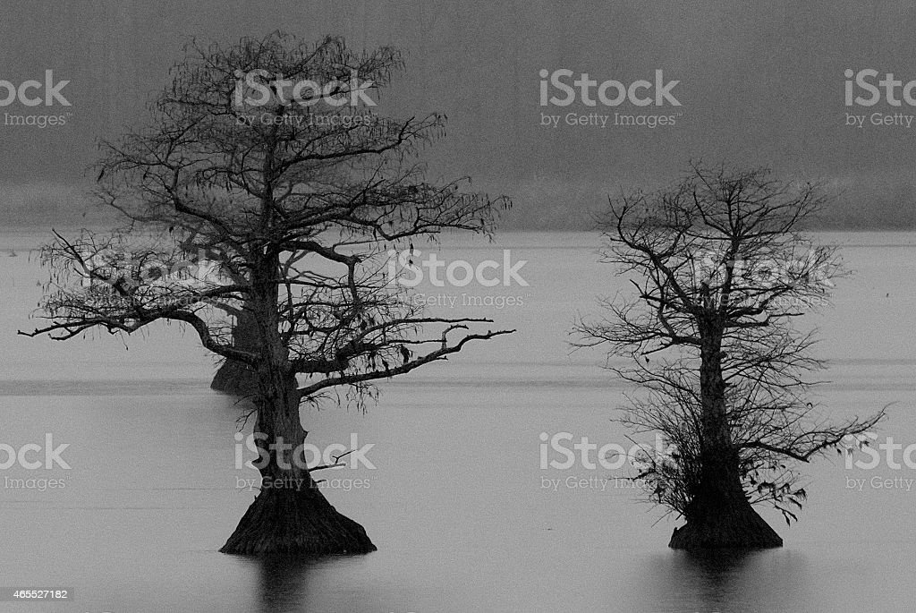 Black and White Silhouette of Cypress Trees stock photo