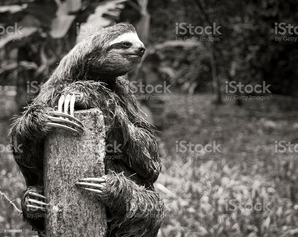 Black and White sloth on fence royalty-free stock photo