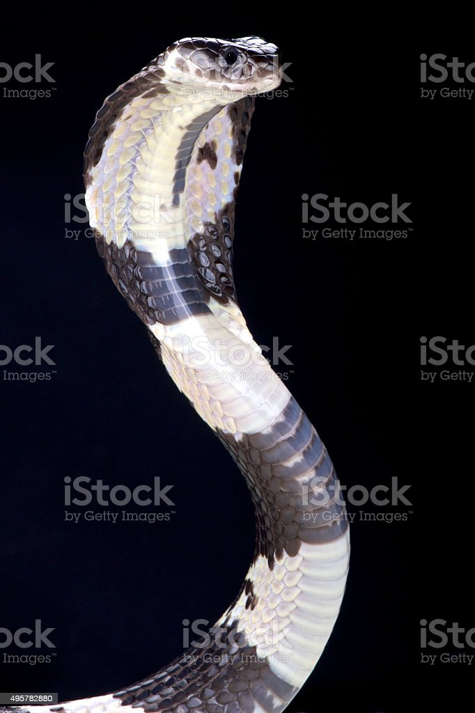 Black and white spitting cobra (Naja siamensis) stock photo