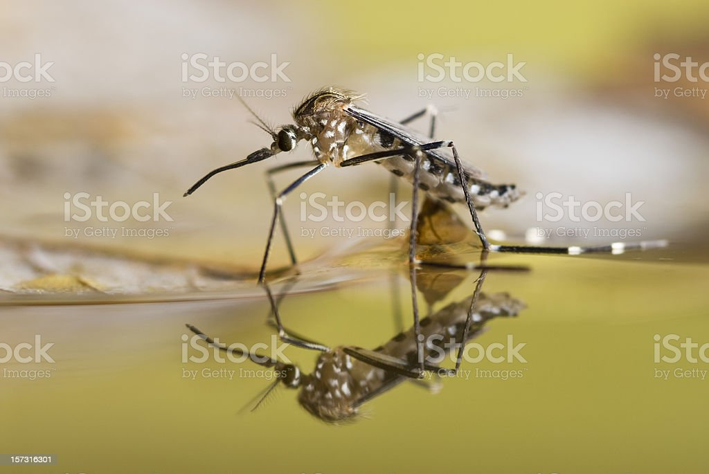 Black and white spotted mosquito on the surface of liquid stock photo