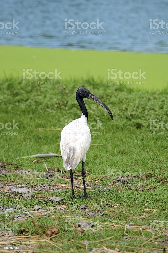 Black and White Stork royalty-free stock photo