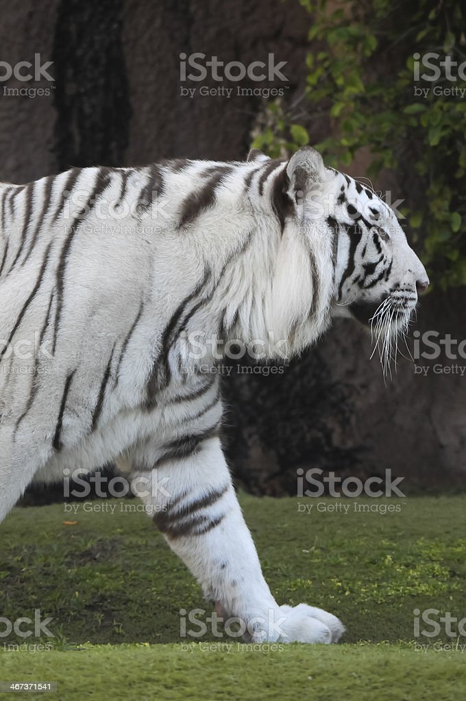 Black and White Striped Tiger royalty-free stock photo