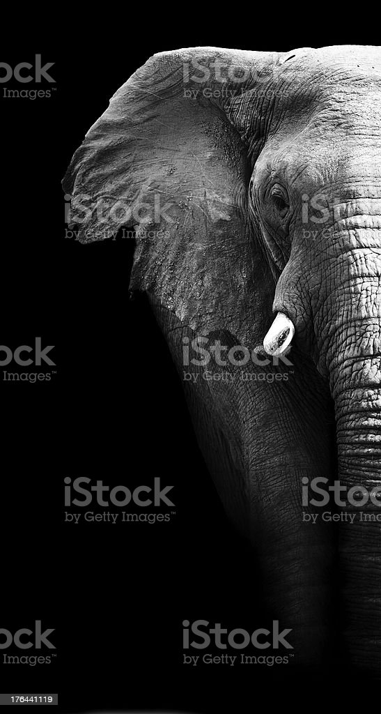 Black and white study of elephant stock photo