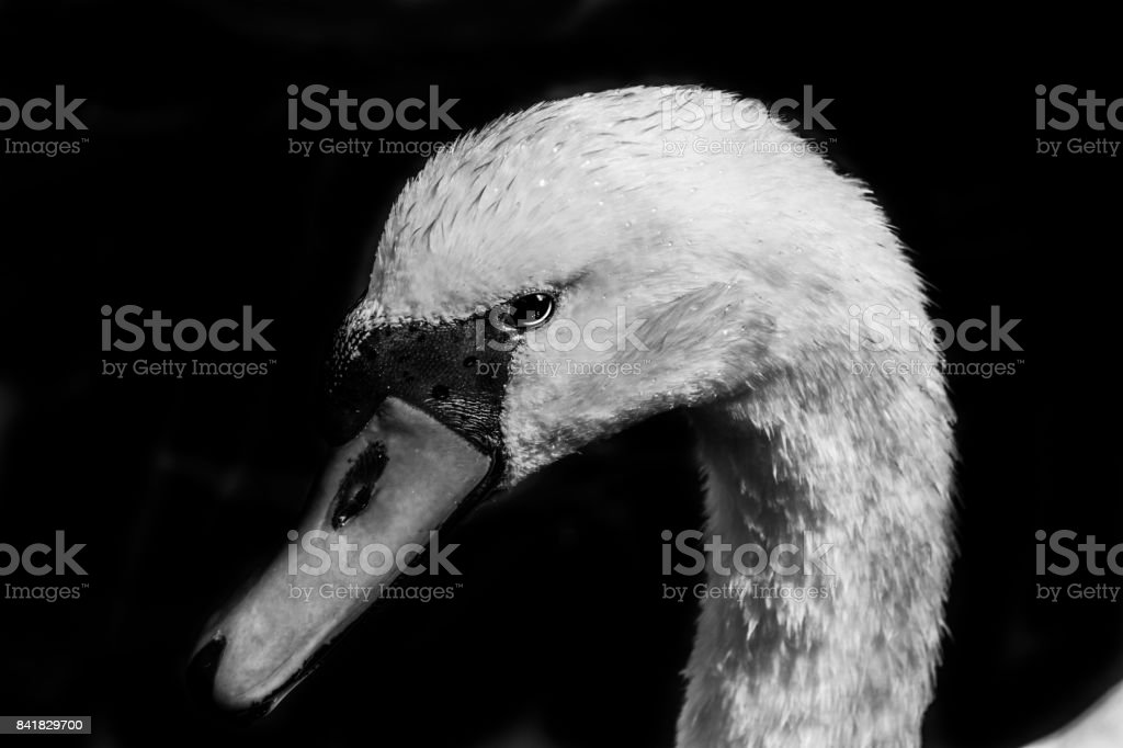 black and white swan close-up stock photo