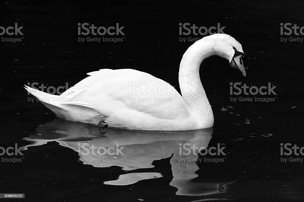 Black and white Swan stock photo