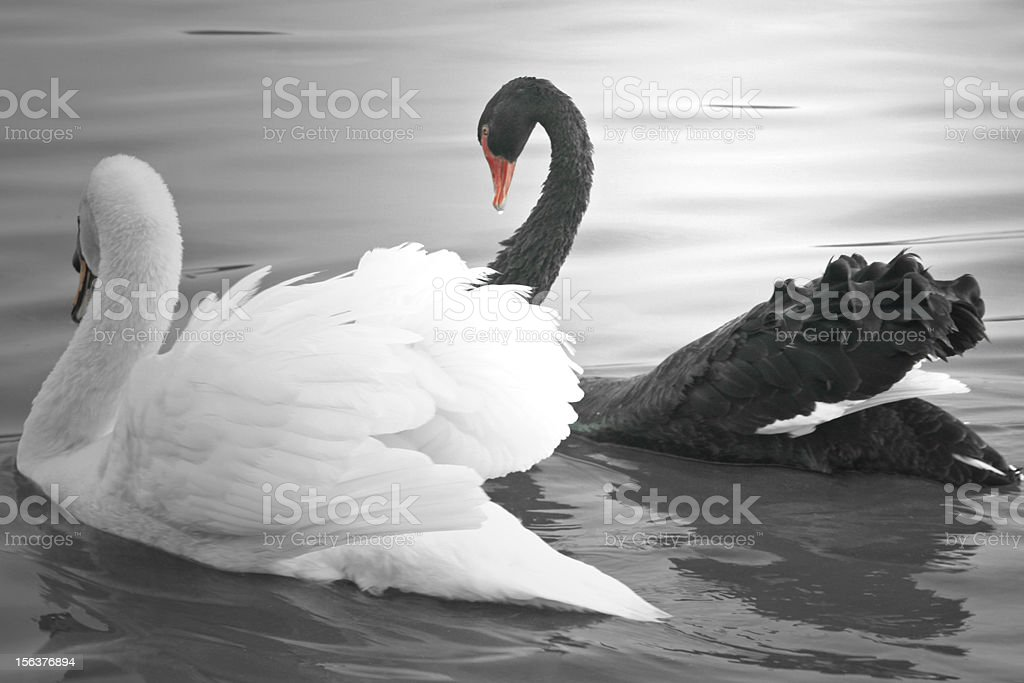 Black and White Swan Swimming stock photo