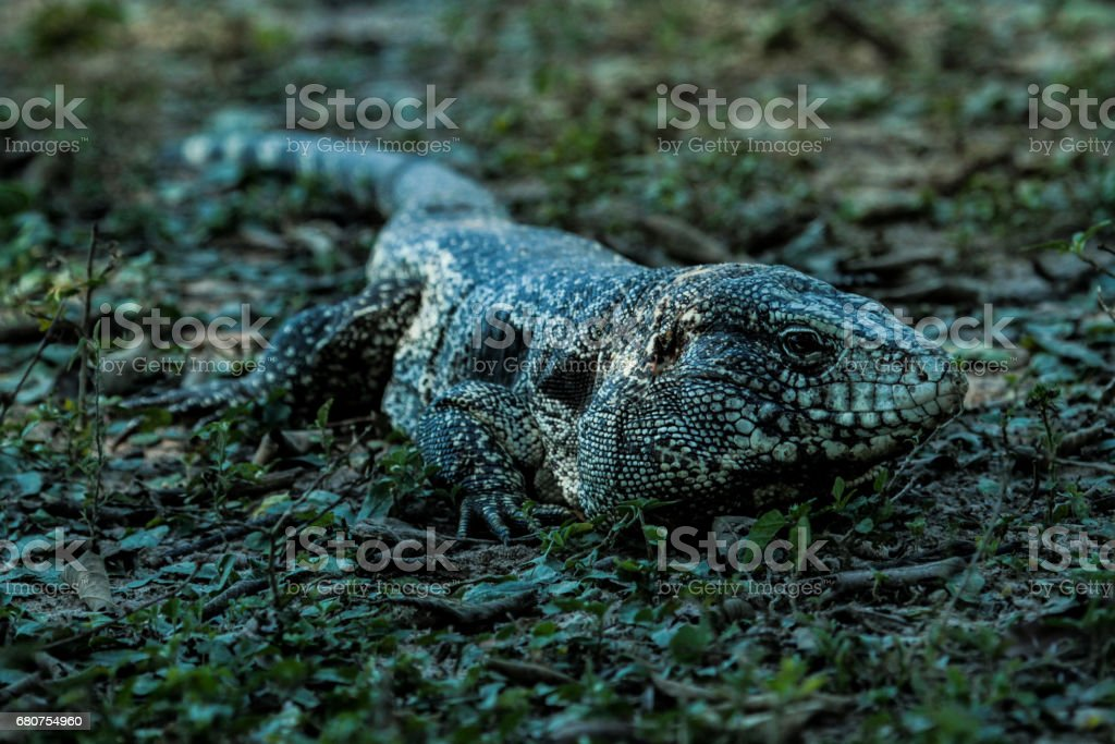 Black and white tegu or giant tegu (Tupinambis merianae) in the Pantanal - Mato Grosso. stock photo