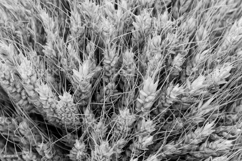 Black and white texture background of wheat ears stock photo
