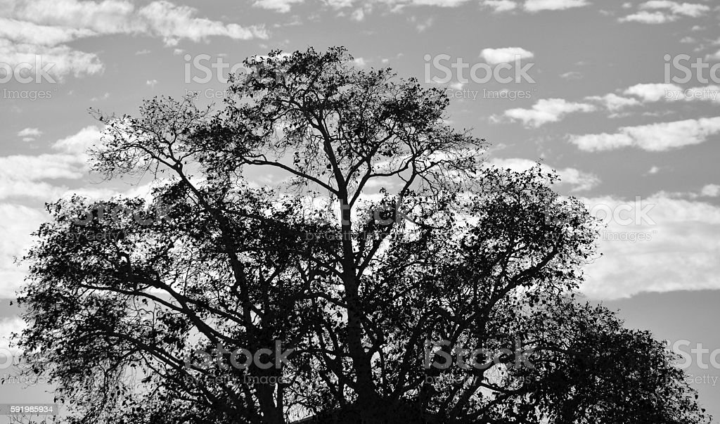 Black and white Tree royalty-free stock photo