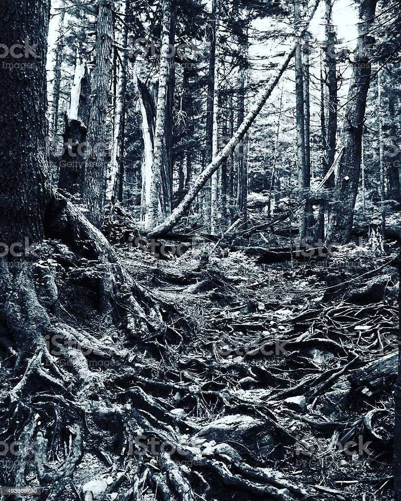 Black and white tree roots in forest royalty-free stock photo