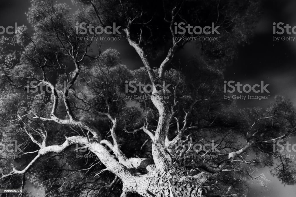 Black and white tree viewed from the ground. stock photo