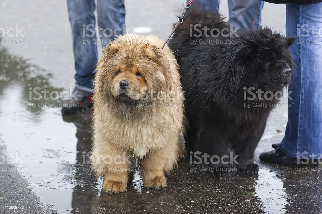 Black and white: Two chow-chow stock photo