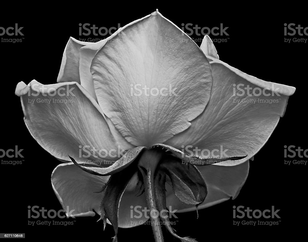 Black and white underside of a white rose showing texture stock photo