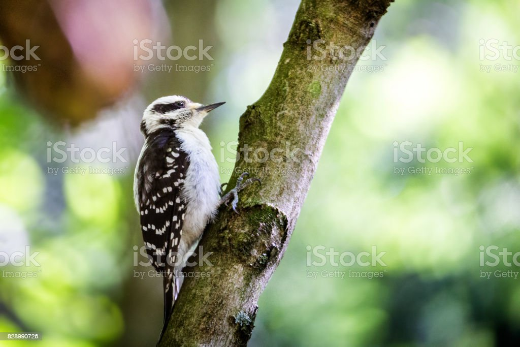 Black and white woodpecker in tree by forest stock photo