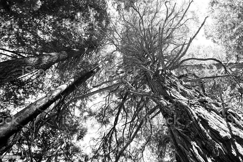Black And White Yosemite Treetops stock photo