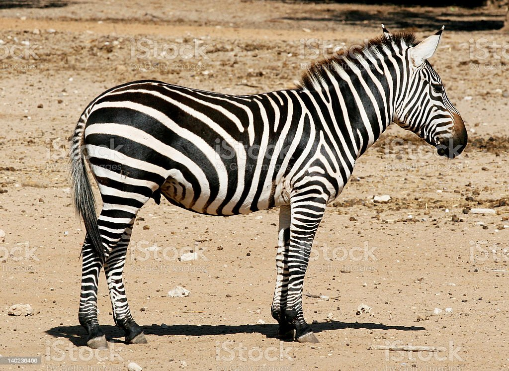 A black and white zebra standing on wasteland royalty-free stock photo