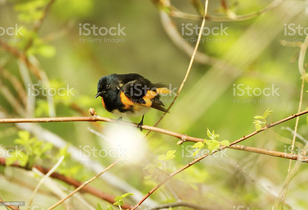 Black and yellow American Redstart Warbler royalty-free stock photo