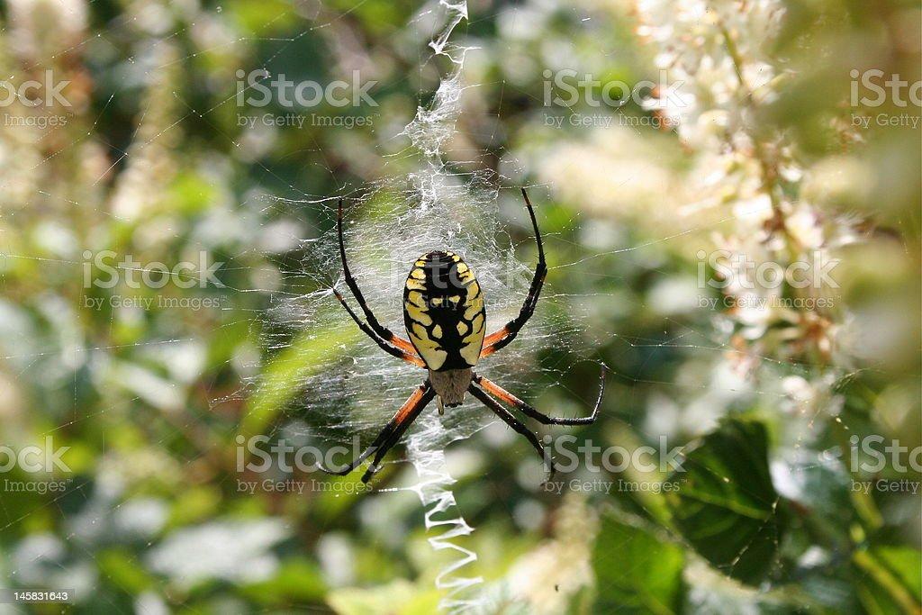 Argiope Araignée noire et jaune photo libre de droits