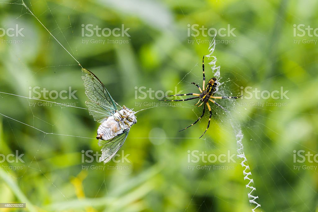 Black and Yellow Argiope Spider With Locust Caught In Web stock photo