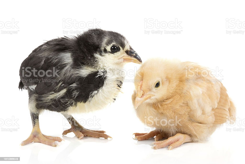 Black and yellow baby chicks royalty-free stock photo