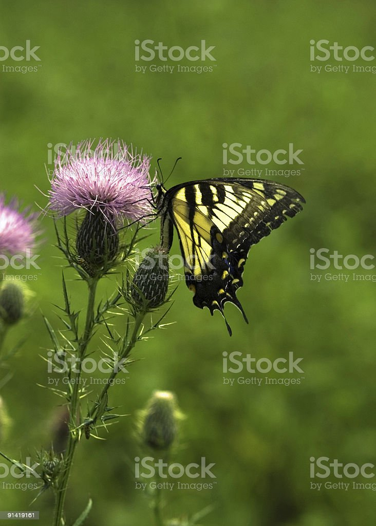 Black and Yellow Butterfly on a Thistle royalty-free stock photo