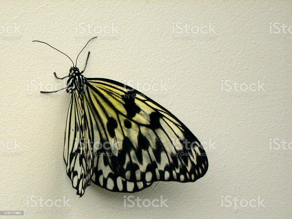 Black and Yellow Butterfly on Wall stock photo