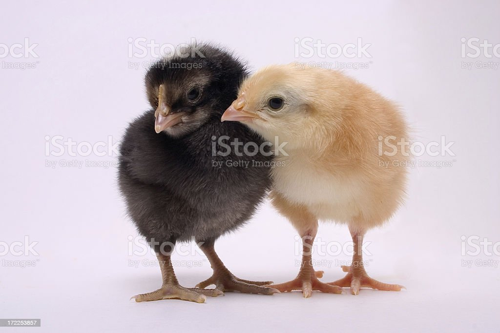 Black and Yellow Chicks royalty-free stock photo